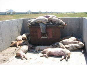 Dead Hogs, Flies and Maggots at a Factory Farm